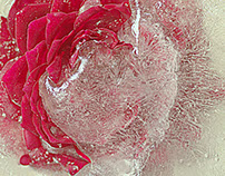 Winter is coming, frozen rose