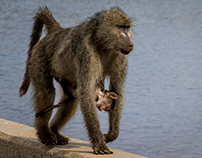 Family Values VI  -  Baboons of Kruger