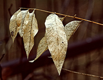 Winter Leaves and Buds