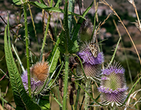 Busy thistles...