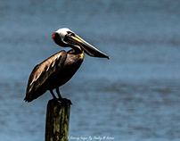 Pelicans and Oyster Boat