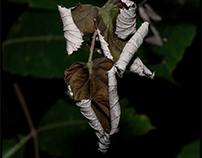 Curled leaves...
