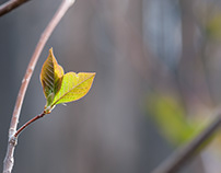 Young Chokecherry Leaves