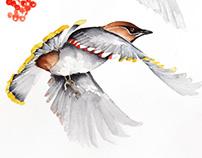 Wax wings watercolour illustrations