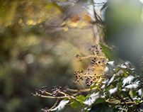 Frucht – Efeu (Hedera helix) - Fruit-Ivy (Hedera Helix)