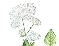 Ground-elder