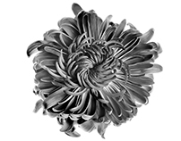 Purple Chrysanthemum - Black And White Edition