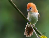 Parrot billed bird