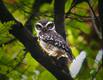 Wildlife Photography (Owlet)