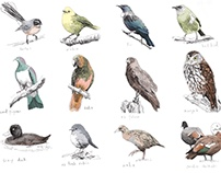 Working drawings of NZ birds