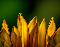 boring sunflowers - snapped a million times...