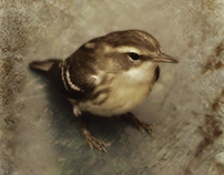 First Fall Female Blackburnian Warbler