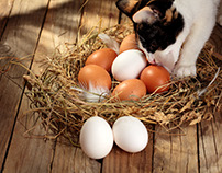 Nest with chicken eggs.Cat story.