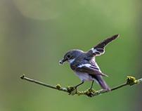 European pied flycatcher (Ficedula hypoleuca)