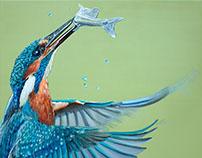 Kingfisher - 2016