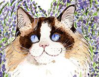 Bicolour Ragdoll Cat Pet Portrait