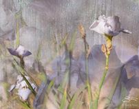 Misty Iris