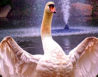 The Joyous Swan