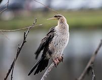 Lake Weeroona Birds