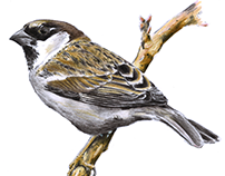 Sparrow in different techniques