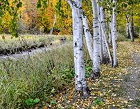 Birches / Bouleaux