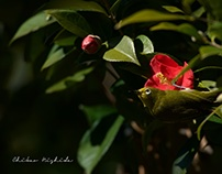 WHITE EYE AND CAMELLIA FLOWERS