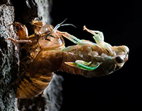 Emerging Cicada