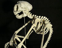 The skeleton of the four-armed monkey