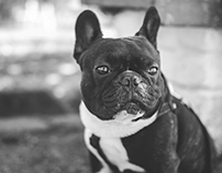 Ozzy The French Bulldog