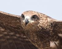 Bird of prey - India