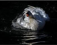 il bagno del cigno  /  the bath of the swan
