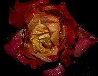 A September rose - Day four in the rain...