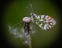 Little butterflies in Rocca Sinibalda...