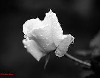 Rosa cautiva