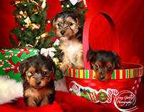Puppies for Christmas !