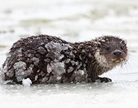 Otter. Winter