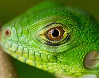 Baby Iguana Series
