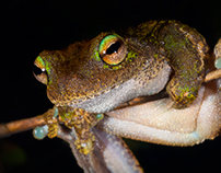 Green-eyed Treefrog and Waterfall Frog