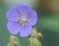 Geranium sylvaticum L
