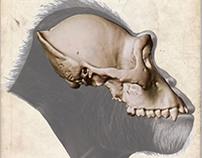 """Sahelanthropus tchadensis - """"Toumai"""" (Book Project)"""