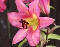 Cerise Pink Lily