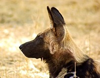 """The Painted Wolf""    African wild dog"