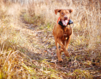 Vizslas - Sporting Dog Storytelling Session