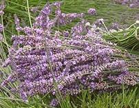 Video Montage - Lavender Farm