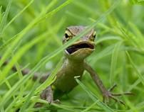 Paused Indian Garden Lizard
