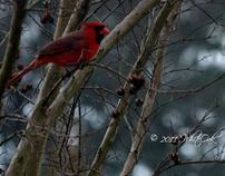 Male Cardinal Playing