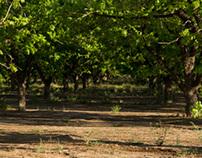 Pecan Orchard, Eloy, Arizona