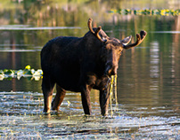 Bull Moose, Lander Wyoming