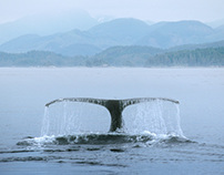 Humpback Whale in Johnstone Strait