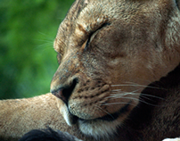 Zoo Photos - Big Cats